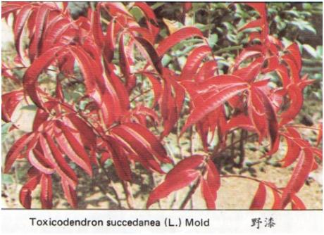 PLANFLETO - Toxicodendron