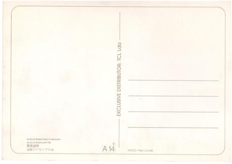 postal-a-14-macau-acacia-rubra-em-flor-verso
