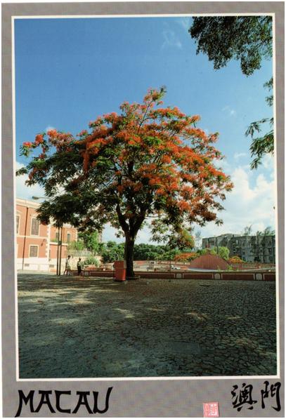 postal-a-14-macau-acacia-rubra-em-flor